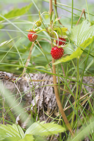 Berry of wild strawberry in dense grass close-up