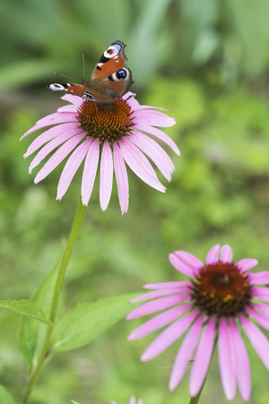 Brown butterfly on a pink flower in the garden