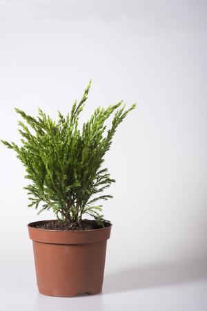 Seedling of juniper in a flower pot for planting in the garden