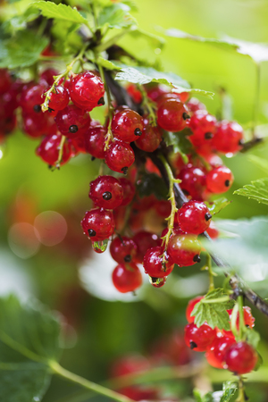 Berries of red currants in a summer garden after a rain Imagens