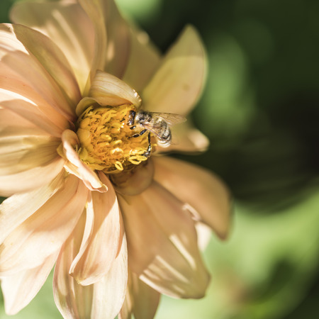 A bee on a yellow dahlia in a summer garden on a flower bed Imagens