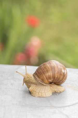 Horned snail on a gray table in the garden