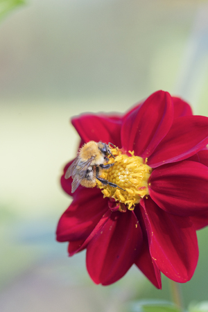 Bumblebee on a red dahlia in a summer garden on a flower bed Imagens
