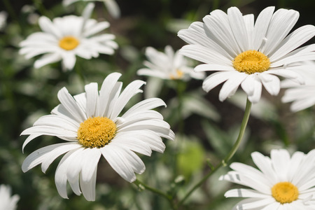 Daisies - ornamental and medicinal flowers