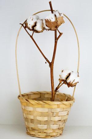 cotton bud: Dried flower of cotton stands in a basket on a white background