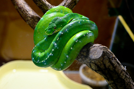 The green snake curled up on a branch