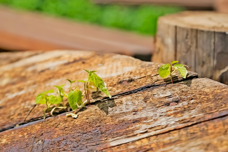 Germs sprouted through wooden boards