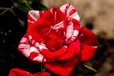 two-color red-white rose blossomed and blooms Stock Photo