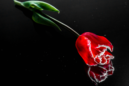 flowers of a red tulip lie on a black mirror background Stock Photo