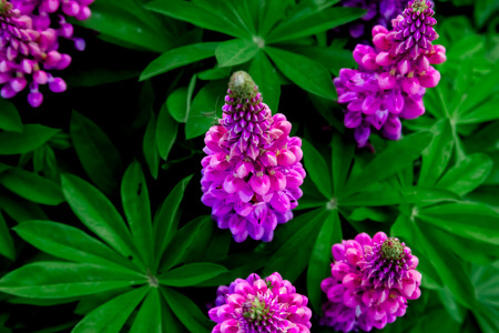 flowering lilac lupines on a background of green foliage Stock Photo