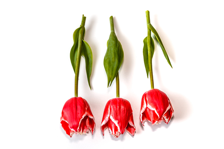three flowers of a red tulip lie on a white background 스톡 콘텐츠