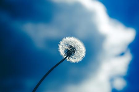 fluffy dandelion flower against the blue sky