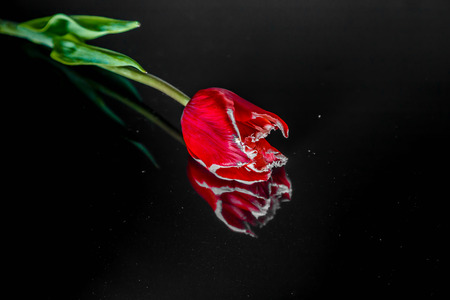 flowers of a red tulip lie on a black mirror background Stock Photo - 95288311