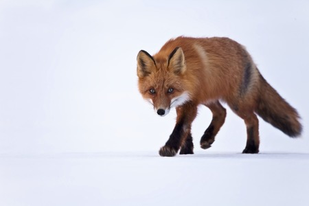 The fox goes on snow in the winter in Russia on Kamchatka