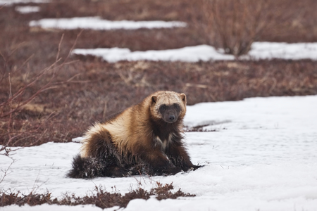 raptorial: the glutton sits in the winter on snow in Russia on Kamchatka