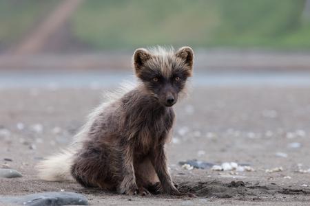 commander: Polar fox, Commander Islands