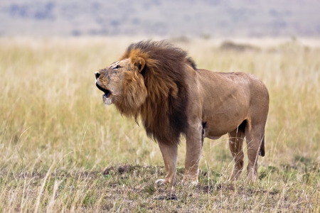 Lion male in national park Nakuru in Kenya