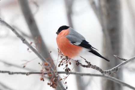 Bullfinches sit on a tree in snow in the winter