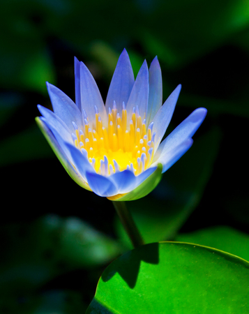 Water-lily at sunrise in the Asian region, Indonesia Stock Photo