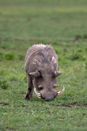 Warthog in national park Nakuru in Kenya