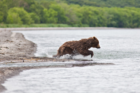 The brown bear fishes in Russia on Kamchatka Stock Photo