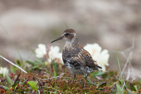 Rock sandpiper that feeds a strip casting  sunny day, Commander Islands, Kamchatka, Russia Stock Photo