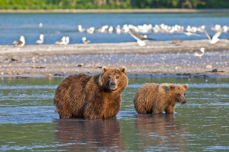 katmai: Bear with bear cubs in Russia on the peninsula of Kamchatka