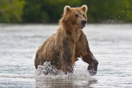 ursus: The brown bear fishes in Russia on Kamchatka Stock Photo