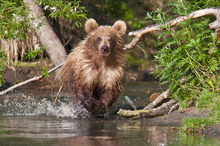 salmon falls: The brown bear fishes in Russia on Kamchatka Stock Photo