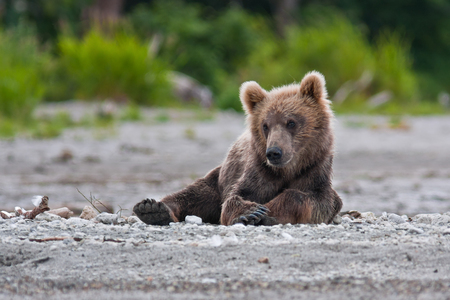 Bear cubs in Russia on the peninsula of Kamchatka