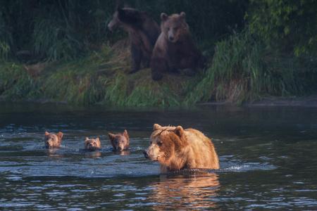 Brown bear on the shore of Kurile Lake. Southern Kamchatka Wildlife Refuge in Russia. 版權商用圖片 - 70292024