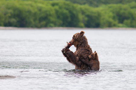 wet bear: Brown bear on the shore of Kurile Lake. Southern Kamchatka Wildlife Refuge in Russia.