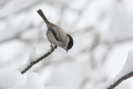 Tree Swallow Poecile montanus