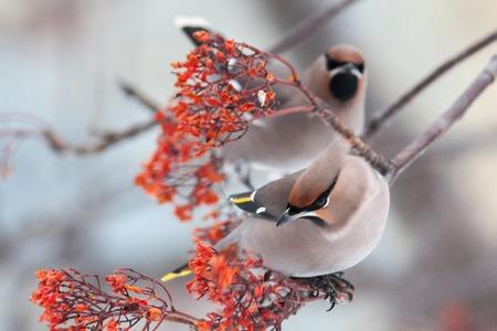 waxwing winter small bird Bombycilla garrulus