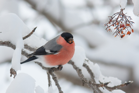 common cold: Bullfinches sit on a tree in snow in the winter