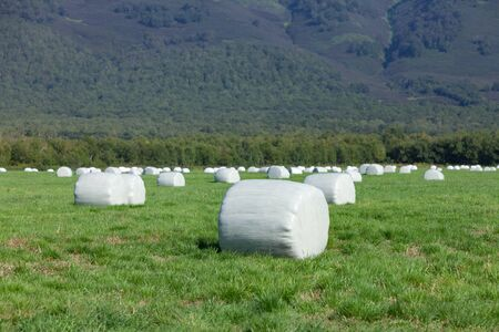 Hay rolls packed in a film for storage on a green field. Selective focus.