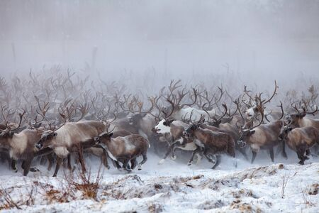 Reindeer on a background of snow and forest