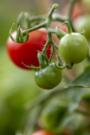 A macro portrait of a green, unripe tomato hanging with another unripe cherry tomato. They are still growing and hanging from the plant they are growing on. In the back there is a ripe tomato.