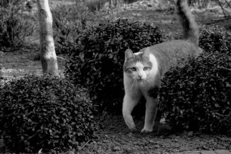 A black and white portrait of a cat appearing from between some bushes on a garden.