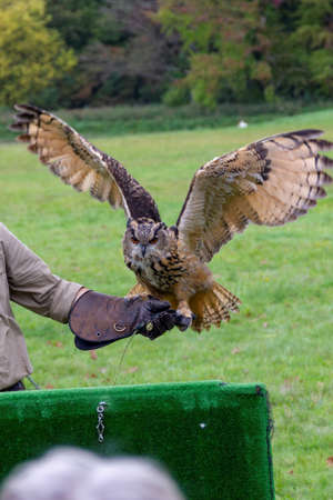 A portrait of a eurasian eagle-owl spreading its wings ready to fly away from the falconer holding it on a glove during a bird of prey show. Standard-Bild