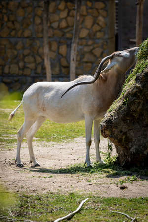A portrait of an addax or screwhorn antelope trying to reach some food on a rock covered in moss. It is known for its long horns which are twisted.