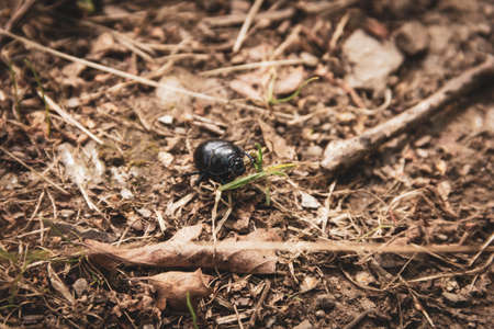 A close up portrait of a black dung beetle between the forest debris on a dirt road in the woods.