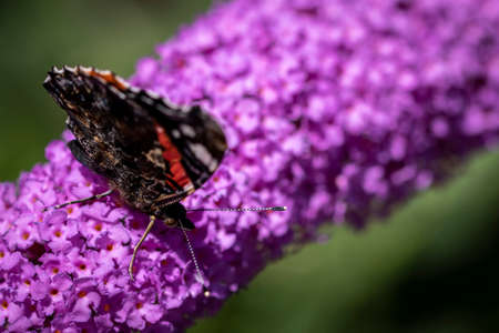 A portrait of a atalanta butterfly with its wings closed on a butterfly bush branch covered with purple flowers. The butterfly is scientifically called vanessa atalanta.