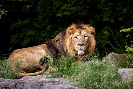 A portrait of a lion lying down on a rock looking around and scouting for its next prey.