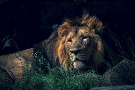 A scenic portrait of an epic lion lying lazy on a rock in the grass with a ray of sunlight on its face looking or scouting around.