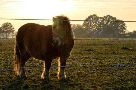 A sunset portrait of a shetland pony standing in its grazing meadow. The sun is setting and its light creates this great glow around the animal. Stock fotó