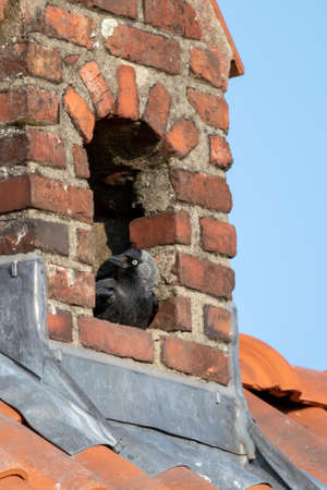 A portrait of a crow sitting in its nest which it made inside of a chimney. The bird is looking around like it is keeping watch. Banco de Imagens