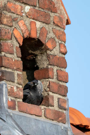 A close up portrait of a crow sitting in its nest which it made inside of a chimney. The bird is looking around like it is keeping watch. Banco de Imagens