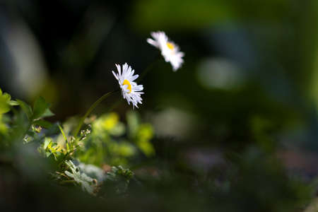 A portrait of a white and yellow daisy standing in the shade together with one of its kind which is blurred in the background with a ray of sunlight hitting both tiny flowers during the spring season.