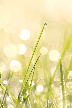 A portrait of a blade of grass with a water droplet on it. In the background other warter drops and the golden hour sunrise are causing a nice bokeh ball filled background.